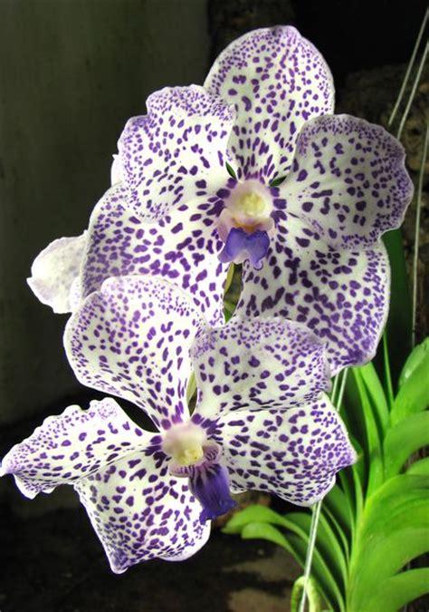 do orchids regrow flowers vanda yano blue boonserm orchids i want pinterest blue