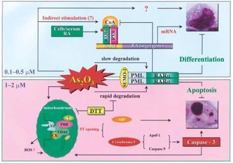 arsenic trioxide  therapeutic agent  apl oncogene