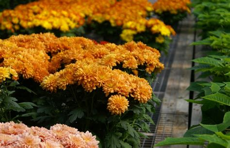 how to take care of mums in fall how to care for your fall mums