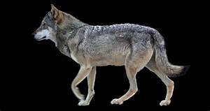 Wolf, Walks, Animation, Isolated, And, Stock, Footage, Video