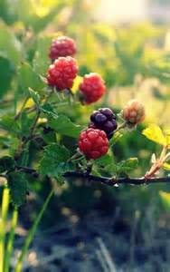 Wild Raspberries and Blackberries