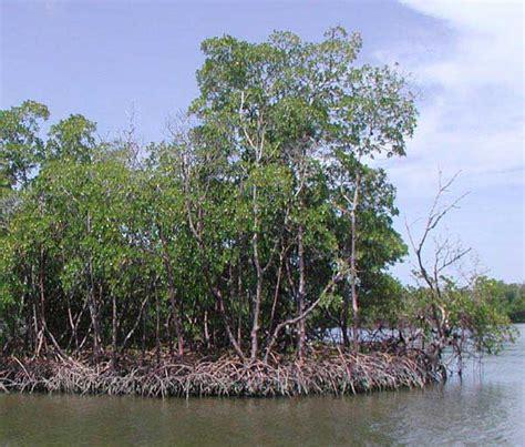 Deforestation Of Mangrove Forests