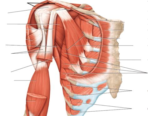Rectus (straight) maximus (largest)  location of the muscle example: Anterior, Deep View of Chest and Shoulder Muscles