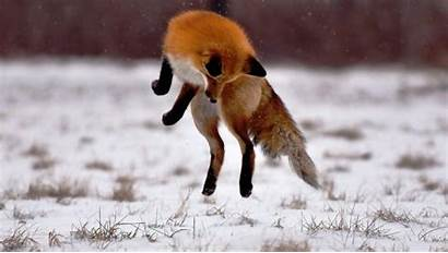 Fox Animal Wallpapers Animals Wallpapercave Cool Cave