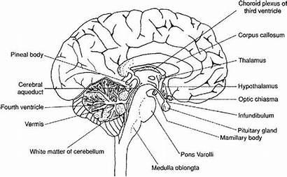 Brain Diagram Worksheet Labeled Human Anatomy Labels