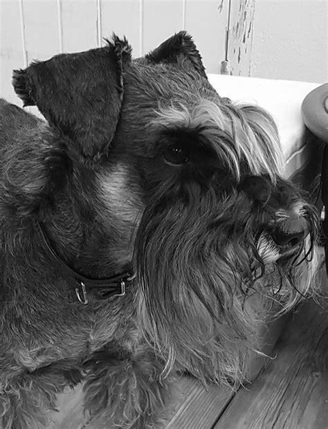 schnauzers by Dee | Schnauzer, Animals, Dogs