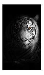 White tiger 4K Wallpaper, Bengal Tiger, Black background ...