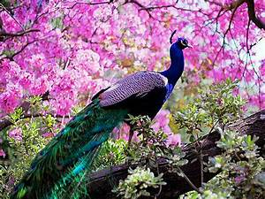 Most Beautiful Peacock HD Wallpapers | Full HD 1080p | HD ...