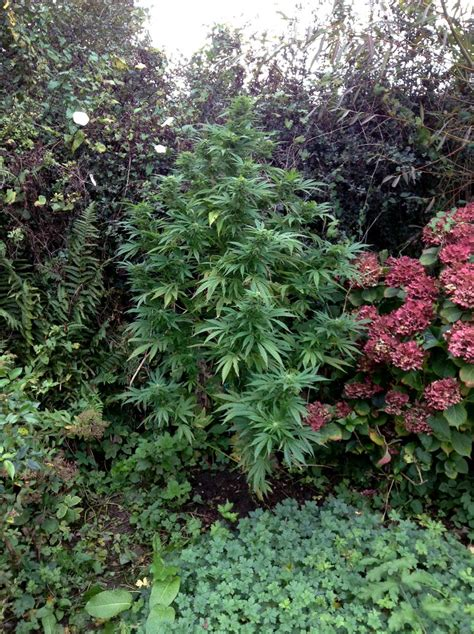 Stealth Ideas For Growing Marijuana In Your Yard Or