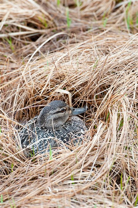 Green Winged Teal Anas Crecca Female On Nest Yukon