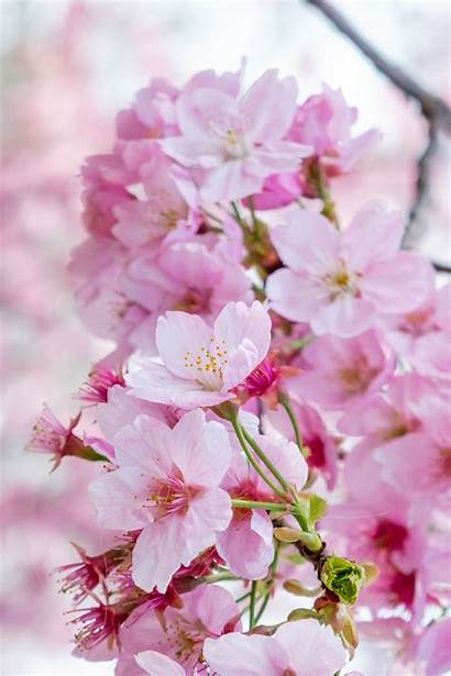Cherry Blossom Tree Creativemarket Seta Lana Sciarpa