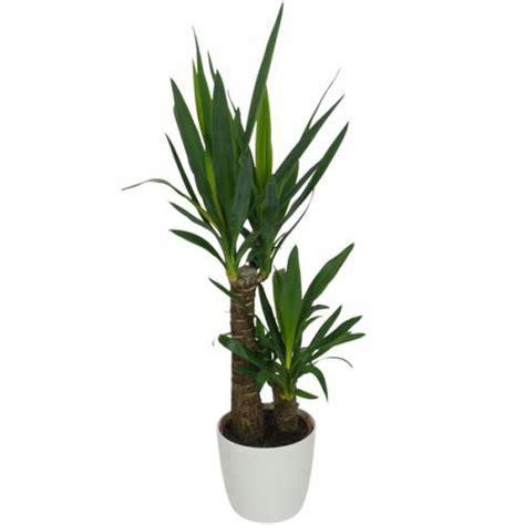 plante d int 233 rieur yucca 2 troncs pot blanc vente