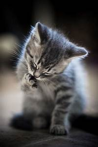 Grey Tabby | ++ CATS | Pinterest