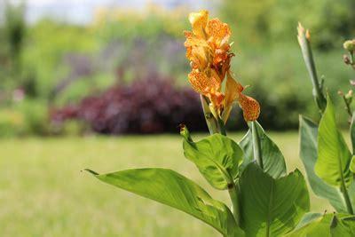 Indisches Blumenrohr Vermehren by Indisches Blumenrohr Canna Pflanzen Pflege Und