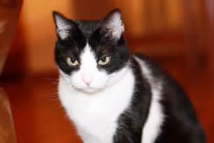 Tuxedo Cat Kittens