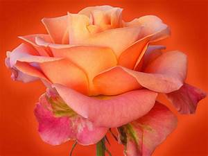 rose flower wallpaper |Rose Wallpapers