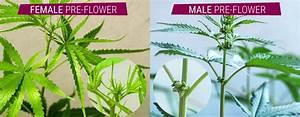 Sanddorn Männlich Weiblich Unterschied : cannabispflanzen m nnlich weiblich und hermaphrodit ~ Lizthompson.info Haus und Dekorationen