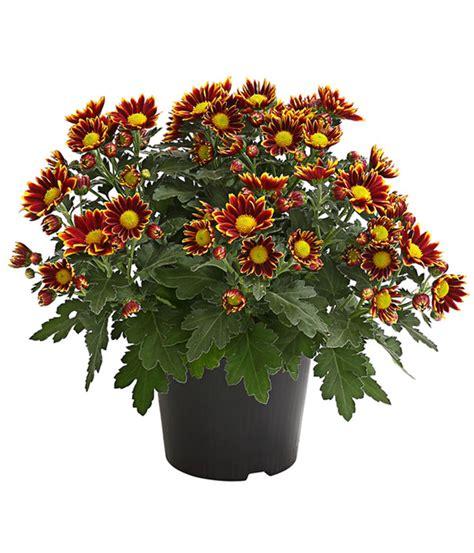 Garten Chrysantheme Kaufen by Garten Chrysantheme Sonderfarben Dehner