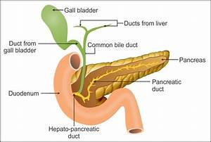 Draw A Diagram Explaining The Duct System Of Liver Gall