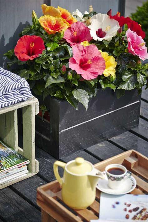 entretien d un hibiscus exterieur entretien hibiscus conseils et astuces pour des plantes en bonne sant 233