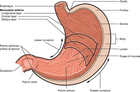 Diagram Of Stomach And by The Stomach Anatomy And Physiology Ii