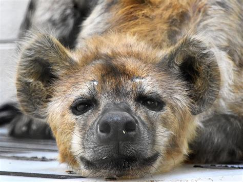 spotted hyena denver zoo