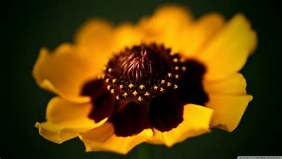 Golden Macro Flower Yellow Ultra Wallpapers Background