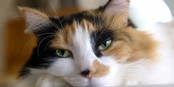 calico cat what calico cats can teach us about obesity