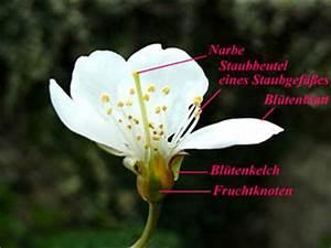 Aufbau Einer Blume : von der bl te zur frucht ~ Whattoseeinmadrid.com Haus und Dekorationen