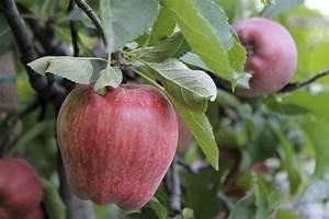 Apfelbaum fur den balkon miniaturausgabe des obstbaums for Französischer balkon mit apfelbaum für den garten