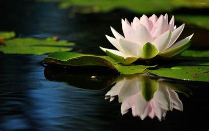 Lily Water Reflection 4k Quiet Flowers Wallpapers