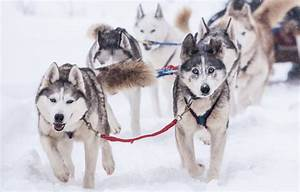 Great Sled Dogs? - K9 Research Lab