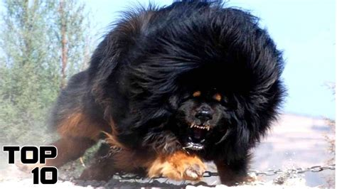 top   dangerous dog breeds youtube