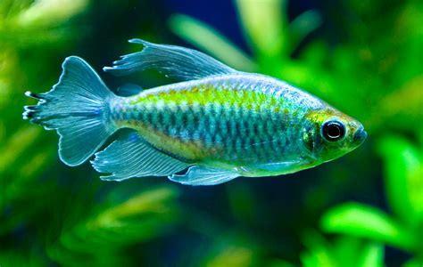 Guia acuario (Fotos de especies de aguas ácidas y blandas)