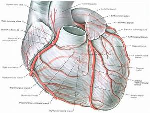10 Best Coronary Circulation Images On Pinterest