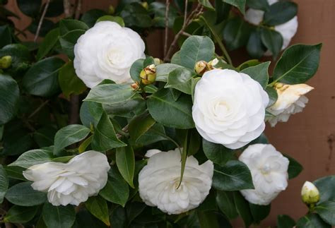 camellia white organic garden dreams my white camellias are in bloom