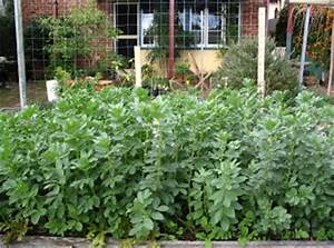 Master Gardeners Of Tompkins County NY Growing Fava