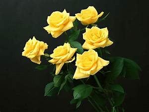 wallpapers: Yellow Rose Wallpapers