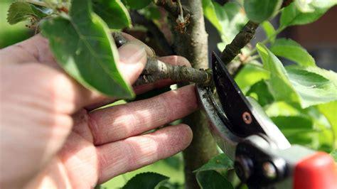 apfelbaum schneiden zeitpunkt apfelbaum schneiden so gibt es eine reiche ernte