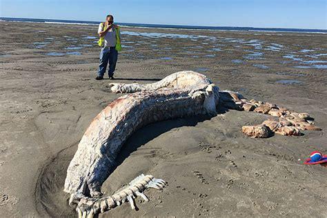 huge shark washed ashore  morning   beach  maine