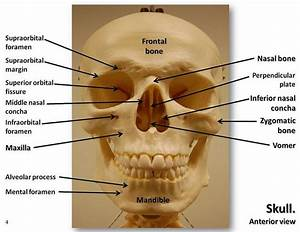 Skull  Anterior View With Labels