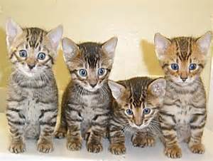 tiger cat breed the toyger animals wiki pictures stories