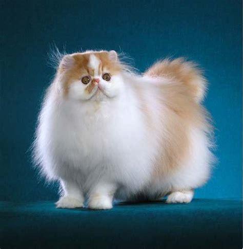 Persian Cat  7 Charming Persian Cat Price Range