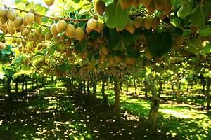 L Arbre Du Kiwi : arbre de kiwi photo stock image du nergie couleur salubre 9165650 ~ Melissatoandfro.com Idées de Décoration