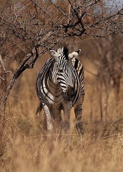 Animated Animals Gifs Zebra Animal African Animation