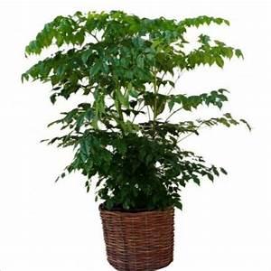 Arbuste D Intérieur : vert plante d 39 int rieur china doll photo des arbustes ~ Premium-room.com Idées de Décoration