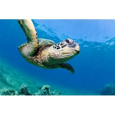 Green Sea TurtleThe Biggest Animals Kingdom