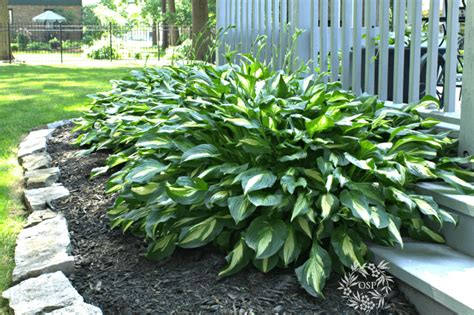 are hostas perennials or annuals hardy plants the diy gardener s guide on sutton place