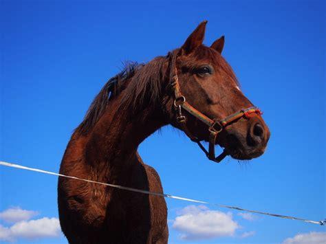 horses horse laminitis causes pet mare canna stallion animal mane pony livestock cloud rein wild mustang feeding close head snout