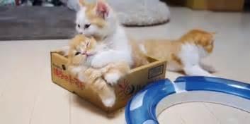 adopt munchkin cat munchkin kittens for adoption the features